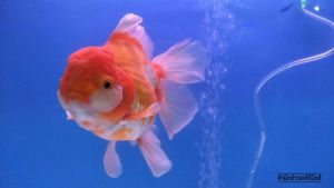 เลี้ยงปลาทองพารวย จากสิ่งที่ชอบสู่ธุรกิจส่งออก